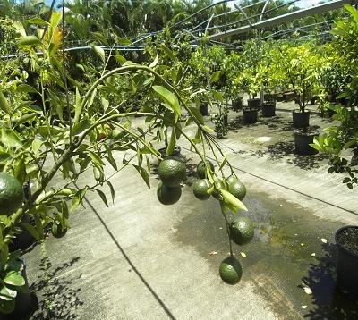 Citrus reticulata  - Mandarine commune