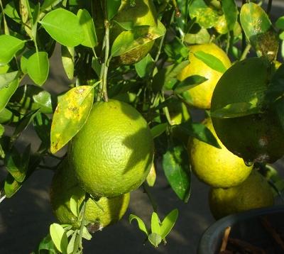 Citrus reticulata  - Mandarine de Brickaville