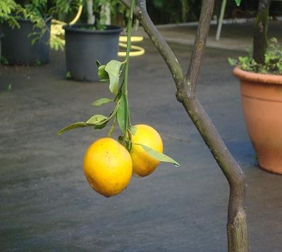 Citrus reticulata - Mandarine fairchild