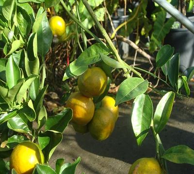 Citrus reticulata - Mandarine fortune