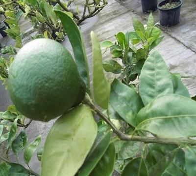 Citrus reticulata - Mandarine kara