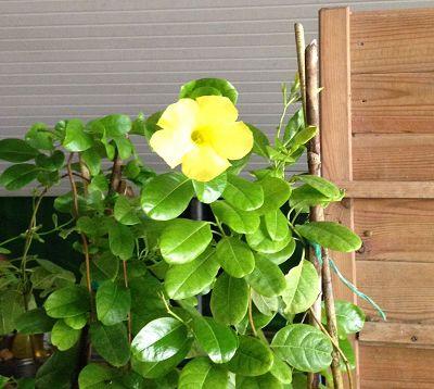 Mandevilla splendens - Mandevilla jaune