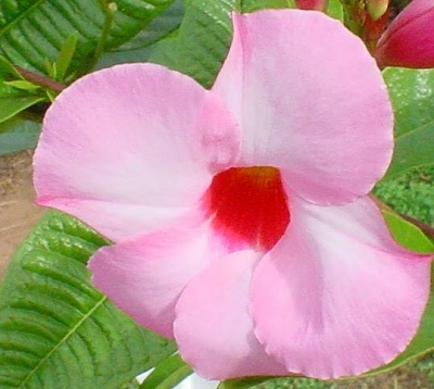 Mandevilla splendens - Mandevilla rose