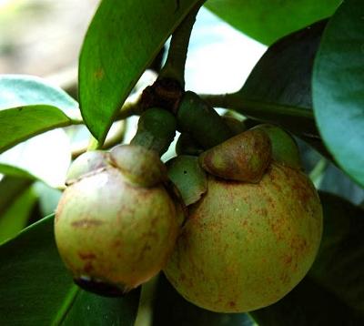 Garcinia mangostana - Mangoustanier