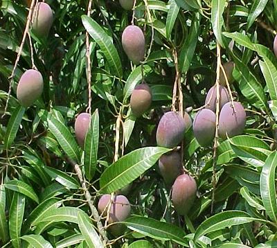Mangifera indica Bassignac - Manguier bassignac greffé
