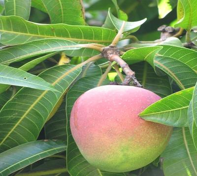 Mangifera indica - Manguier greffé