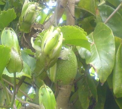 Passiflora edulis - Maracudja