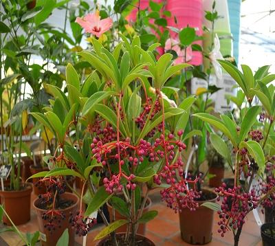 Medinilla myriantha - Medinilla petites fleurs