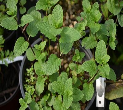 Mentha spicata nana- Menthe marocaine