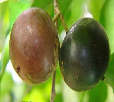 Flacourtia jangomas  - Merisier pays