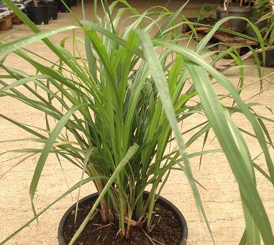Miscanthus sinensis - Miscanthus