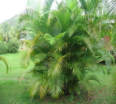 Dypsis lutescens - Palmier multipliant