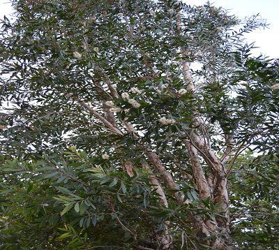 Melaleuca alternifolia - Myrte - Arbre à thé