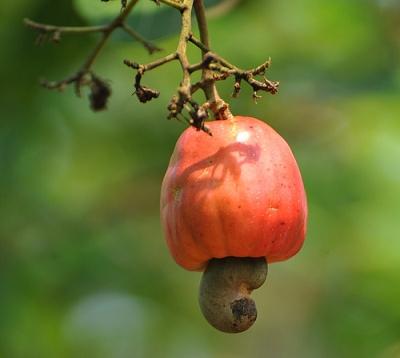 Anacardium occidentale - Noix de cajou - Anacardier