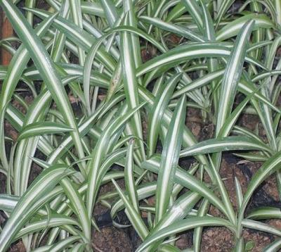 Ophiopogon jaburan - Ophiopogon panaché
