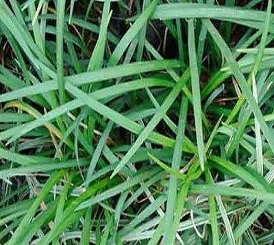 Ophiopogon japonica - Ophiopogon vert