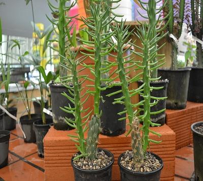 Opuntia cylindrica - Opuntia cylindrica