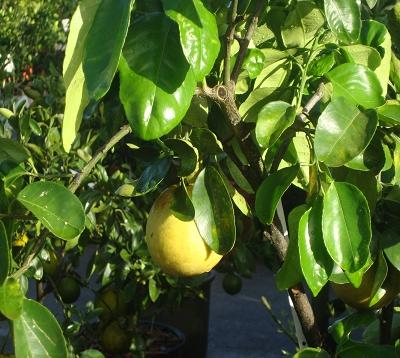 Citrus aurantium - Oranger amer