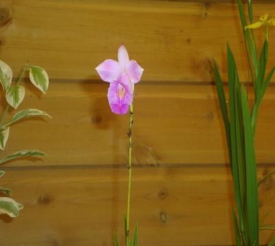 Arundia graminifolia - Orchidée bambou