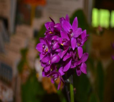 Spathoglottis unguiculata - Orchidée coco