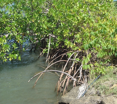 Pterocarpus officinalis - Paletuvier