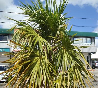 Coccothrinax barbadensis - Palmier balai de la Caraibe