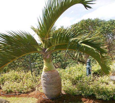 Hyophorbe lagenicaulis - Palmier bonbonne ou bouteille