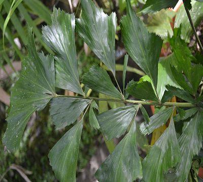 Caryota urens - Palmier céleri à tronc simple