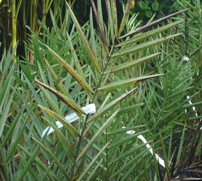 Phoenix canariensis - Palmier des Canaries
