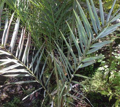 Phoenix dactyliphera - Palmier dattier