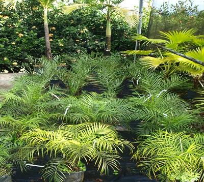 Phoenix roebelenii - Palmier dattier nain