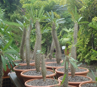 Pachypodium lamerei  - Palmier de Madagascar