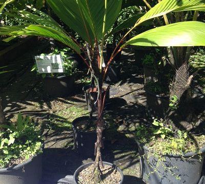Vershafeltia splendida - Palmier à échasses