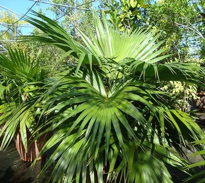 Livistona chinensis - Palmier Livistona