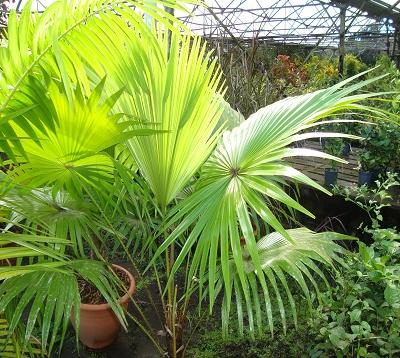 Livistona rotundifolia - Palmier livistona rotundifolia