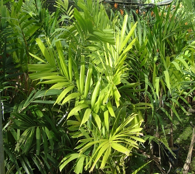 Ptychosperma macarthurii - Palmier macarthurii
