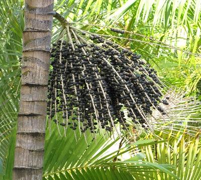 Euterpe oleracea - Palmier pinot noir