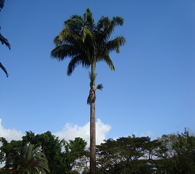 Roystonea regia - Palmier royal
