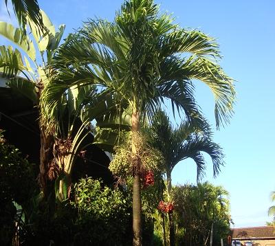 Veitchia merrillii ou Adonidia merrillii- Palmier Veitchia
