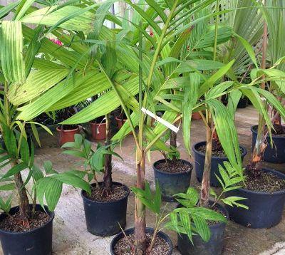 Areca vestaria - Palmier à tronc orange
