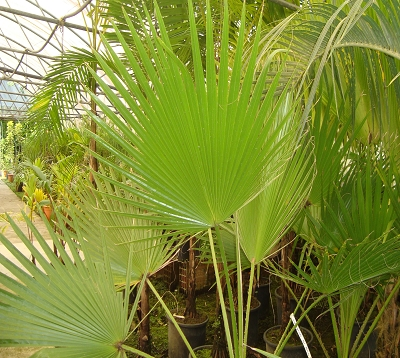 Washingtonia robusta - Palmier washingtonia