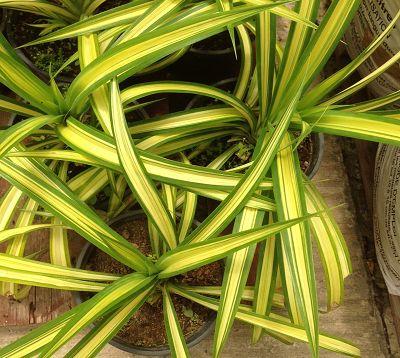 Pandanus pygmaeus - Pandanus nain vert et jaune