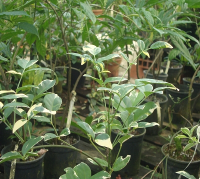 Pandorea variegata - Pandorea panaché