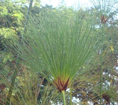 Cyperus papyrus - Papyrus du Nil