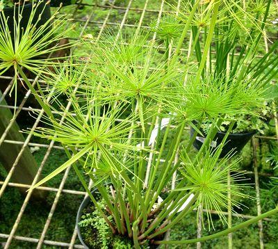 Cyperus haspan - Papyrus nain