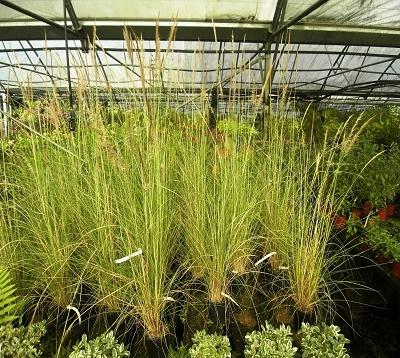 Pennisetum villosum - Pennisetum vert nain