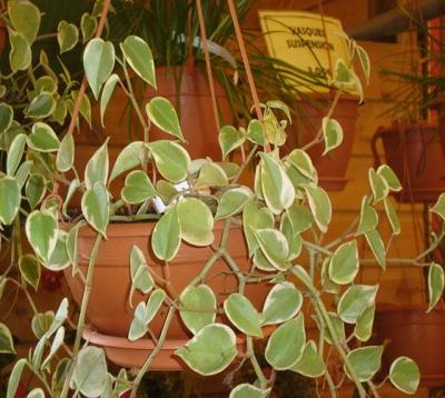 Peperomia obtusifolia variegata - Peperomia Panaché