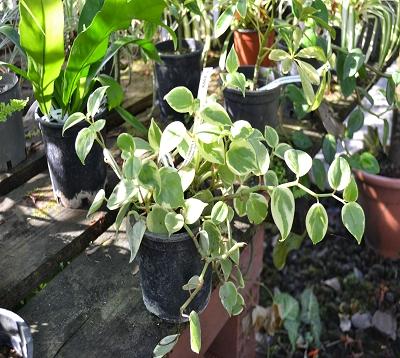 Peperomia scandens variegata -  Peperomia retombant panaché