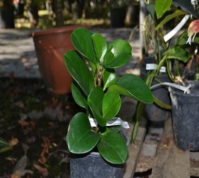 Peperomia scandens- Peperomia retombant vert
