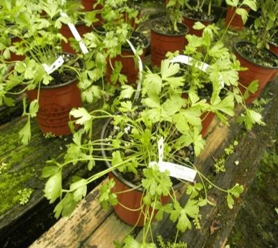 Petroselinum crispum - Persil